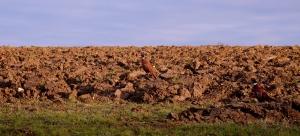 To many pheasants