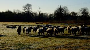 Oxforddown sheep