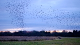 Starlings dropping into the Octagon reed pond
