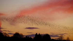 A beautiful sunset and a murmuration of starlings