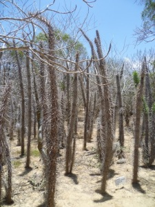 Spiny forest