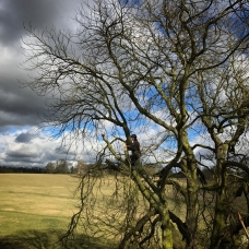 Reducing lateral limbs on a horsechestnut