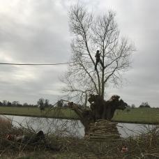 Pollarding an old willow