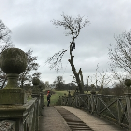 Ash tree reduced because of a fungal infection