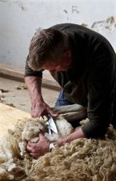 Sheep shearing course