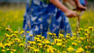 Mowing a traditional English meadow