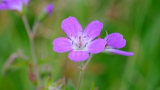 Wood cranesbill