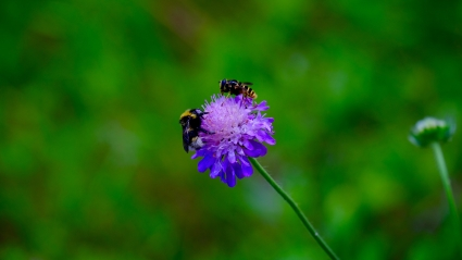 Hoverfly and bumblebee
